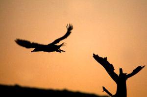 Nakuru Cormorant