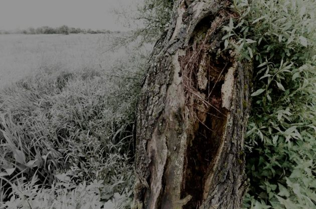 Split trunk of an ancient willow on the Somerset Levels
