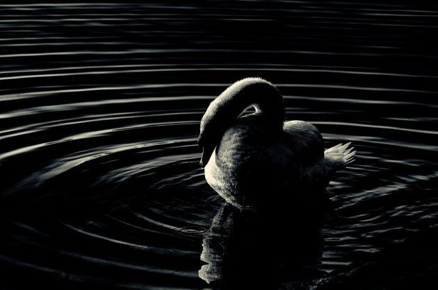 Swan, preening