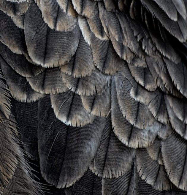 Black Kite plumage detail