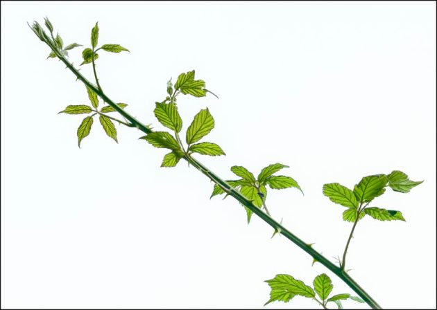 A Bramble shoot arcing up into the air