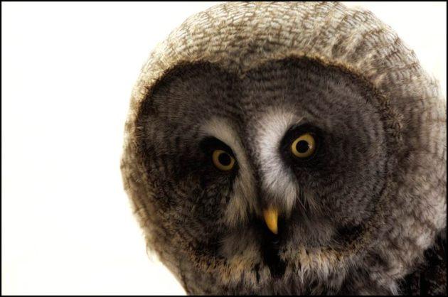 Portrait of Great Grey Owl
