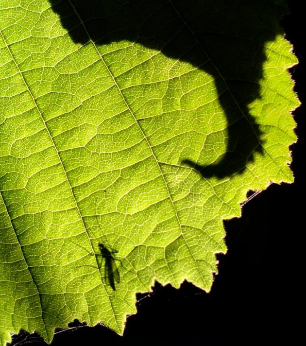 Shadow of a fly on a Hazel leaf