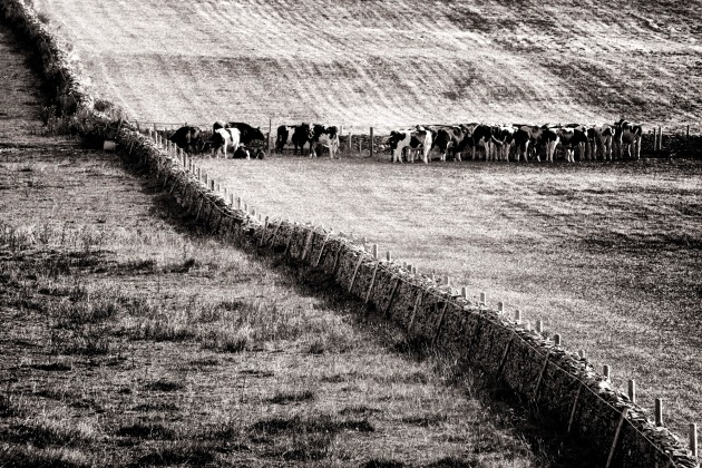 Cattle on the southern slopes of North Hill