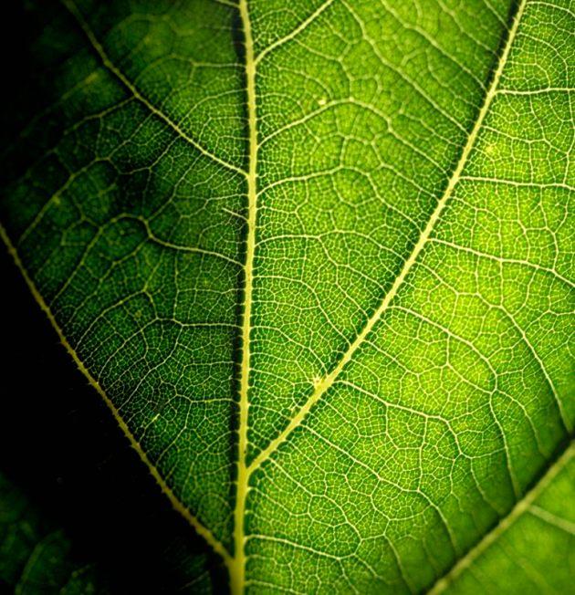 Oak leaf, backlit