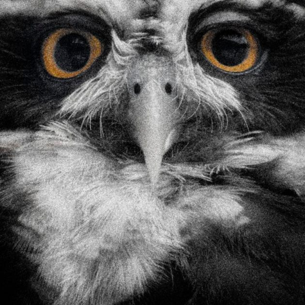 spectacled-owl-mono