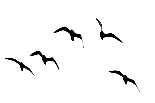 Gulls over our garden