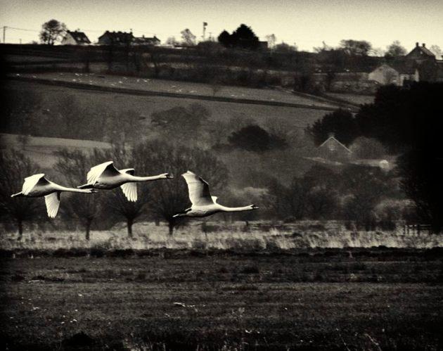 Swans over Tealham Moor