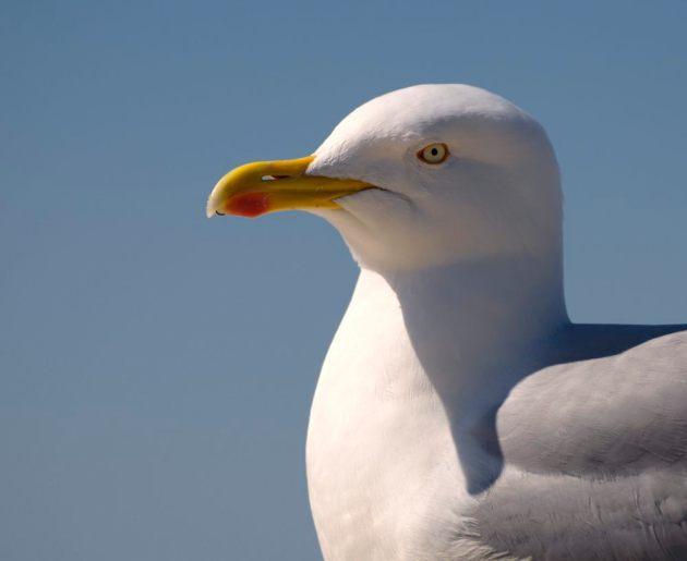 adult-herring-gull