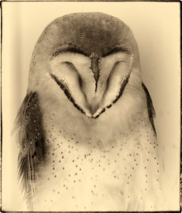 Barn Owl, asleep