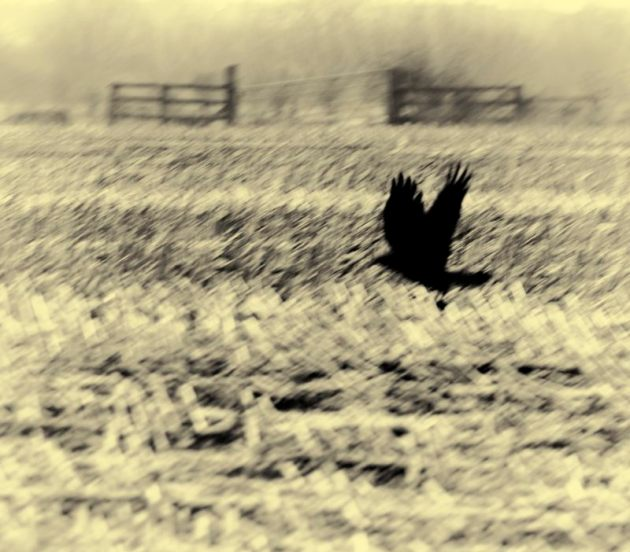 Crow over stubble field