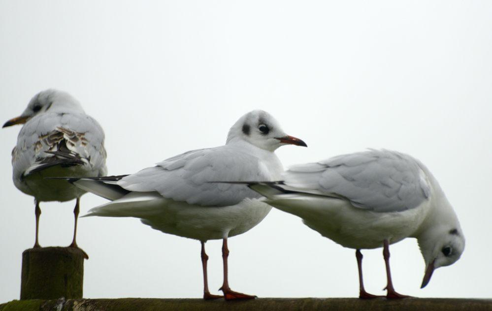 black-headed-gulls-for-lynn-wohlers