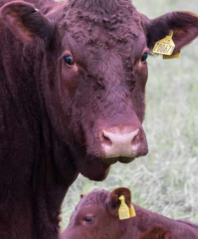 mother-and-calf-westhay-moor