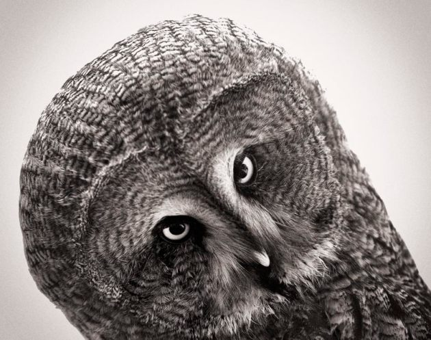 great-grey-owl