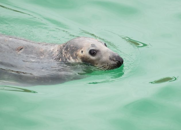 grey-seal-st-ives