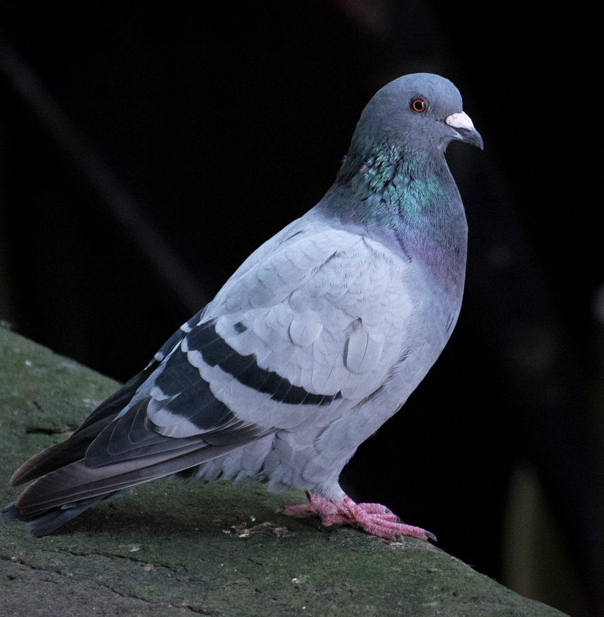 feral-pigeon