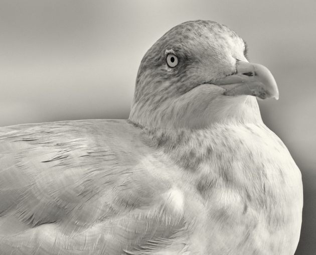 herring-gull-2-mono