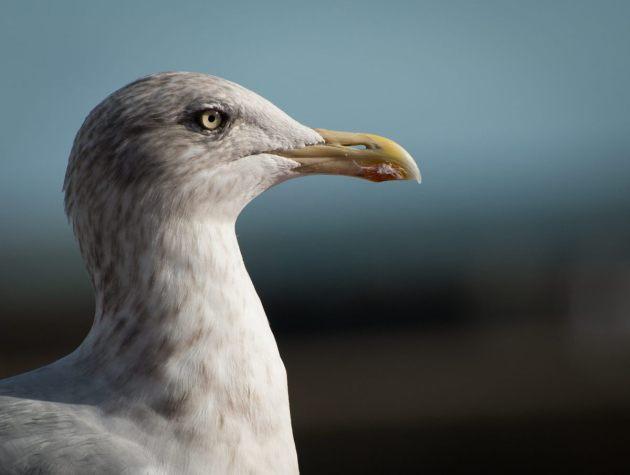 herring-gull-st-ives