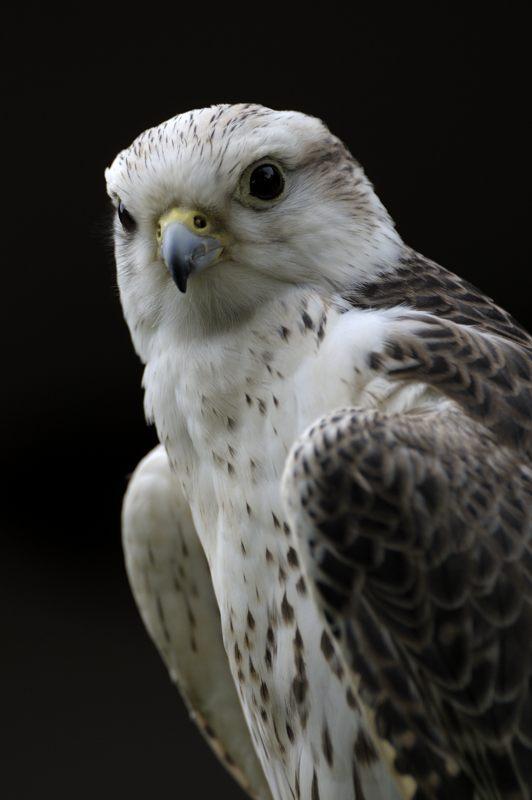 saker-falcon